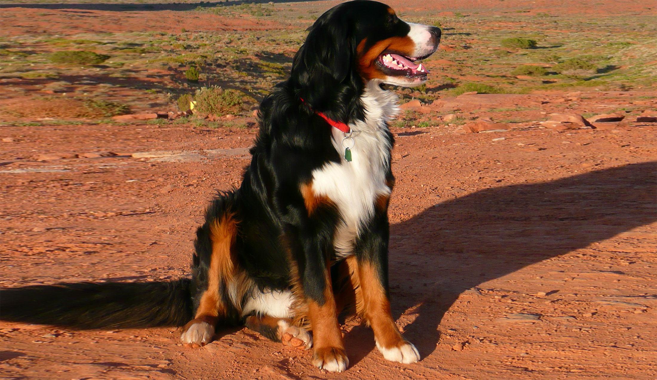 bernese-mountain-dog-59609